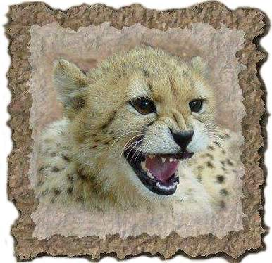 Cheetah cub taken at De Wildt, near Pretoria - Jan, 2003