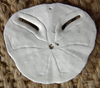 Pansy shell, reverse side