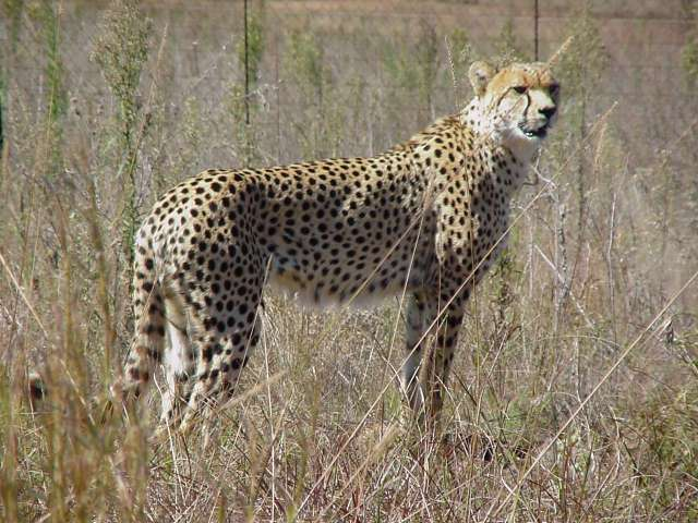 My favourite animal, the Cheetah....