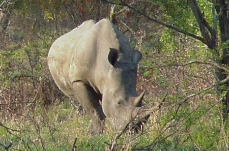 Rhino, photo taken in Kruger National Park